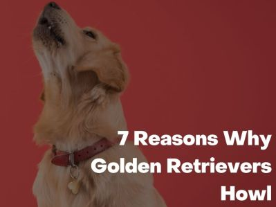 Reasons Why Golden Retrievers Howl