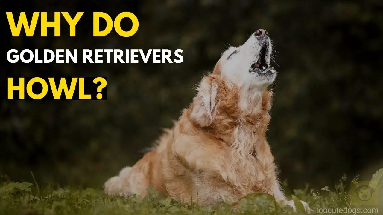 Why Do Golden Retrievers Howl