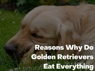 Reasons Why Do Golden Retrievers Eat Everything