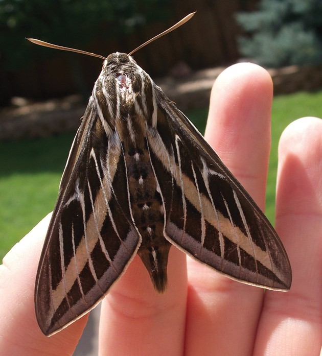 Whitelined sphinx moths often mistaken for hummingbirds  Tooele Transcript Bulletin  News in