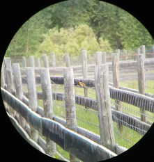 Baltimore Oriole on one of Elk Island's fences.