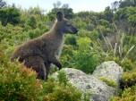 Wallaby, Freycinet National Park