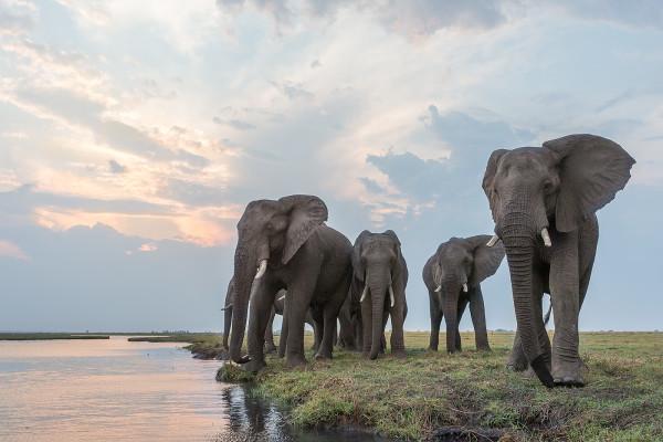 African elephants, Chobe