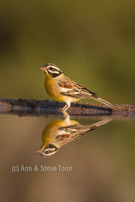 Goldenbreasted bunting