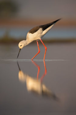Blackwinged stilt from Zimanga photo hide