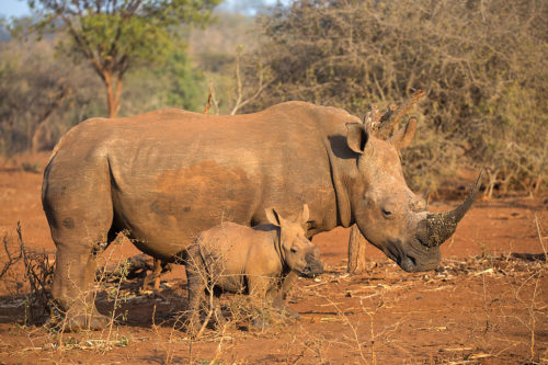 White rhino with calf on Zimanga