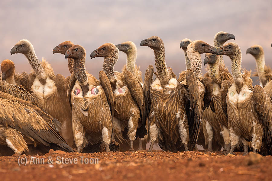 Whitebacked vulture (Gyps africanus) gathering to feed, Zimanga private game reserve, KwaZulu-Natal, South Africa, September 2016