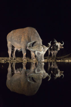 Cape buffalo (Syncerus caffer) drinking at night, Zimanga private game reserve, KwaZulu-Natal, South Africa, September 2016