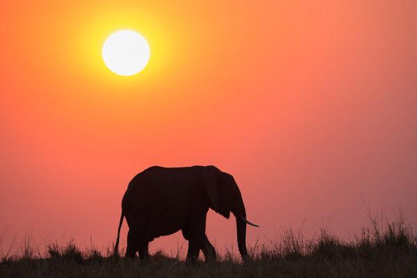 African elephant (Loxodonta africana) at sunset, Botswana, September 2016
