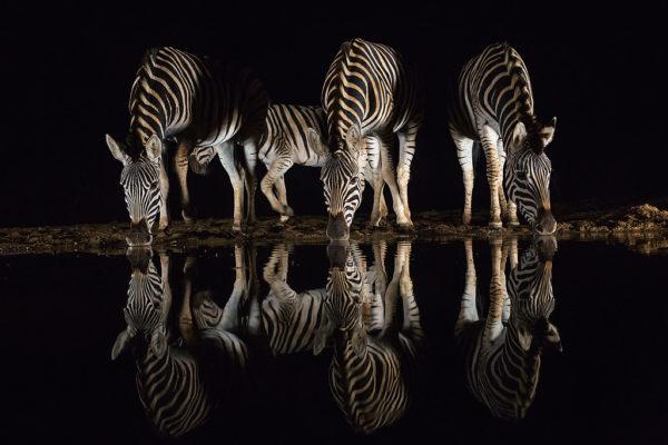 Plains zebra (Equus quagga) drinking at night, Zimanga private game reserve, KwaZulu-Natal, South Africa, September 2016