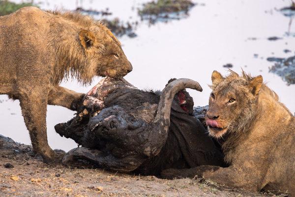Young male lions (Panthera leo) on buffalo kill, Chobe national park, Botswana, September 2016