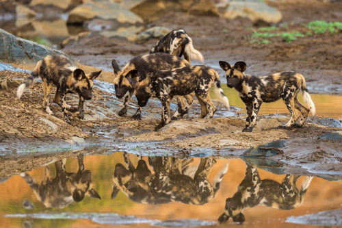 African wild dog (Lycaon pictus) pups from pack exploring, Zimanga private game reserve, KwaZulu-Natal, South Africa, September 2016