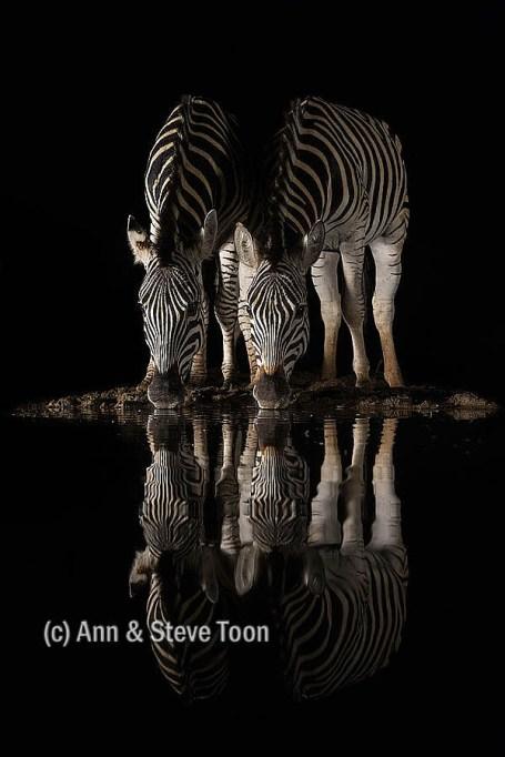 Plains zebra drinking at night, Zimanga