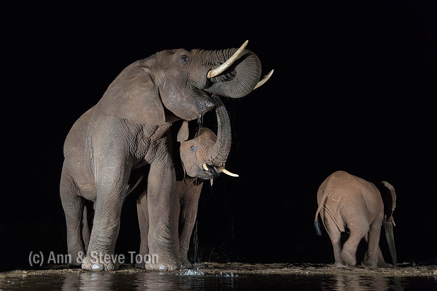Elephants slaking their thirst at the overnight hide