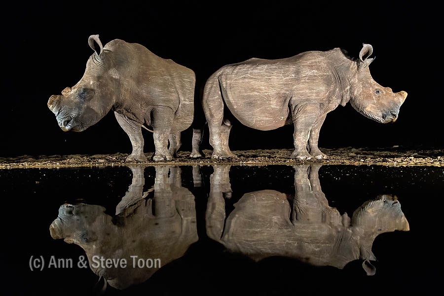 White rhinos at the overnight hide