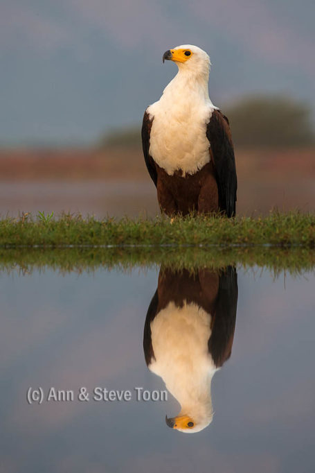African fish eagle, Zimanga lagoon hide