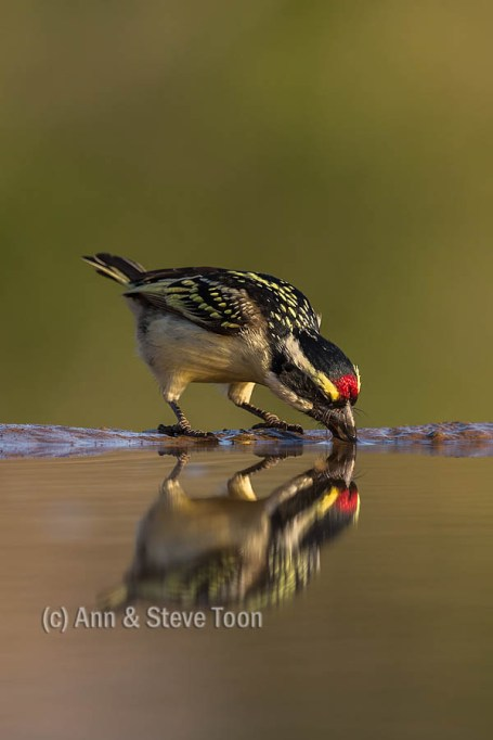 Acacia pied barbet, Zimanga reflection hide