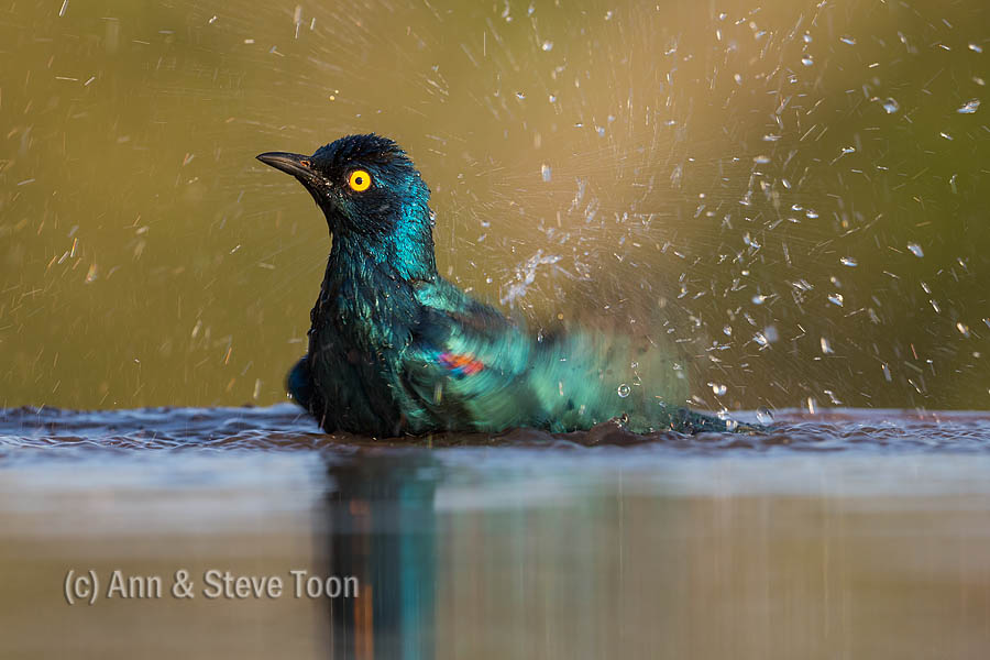 Cape glossy starling bathing, Zimanga reflection hide
