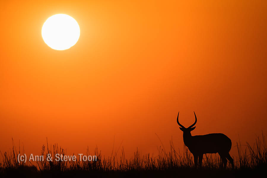 Red lechwe male at sunset, Chobe