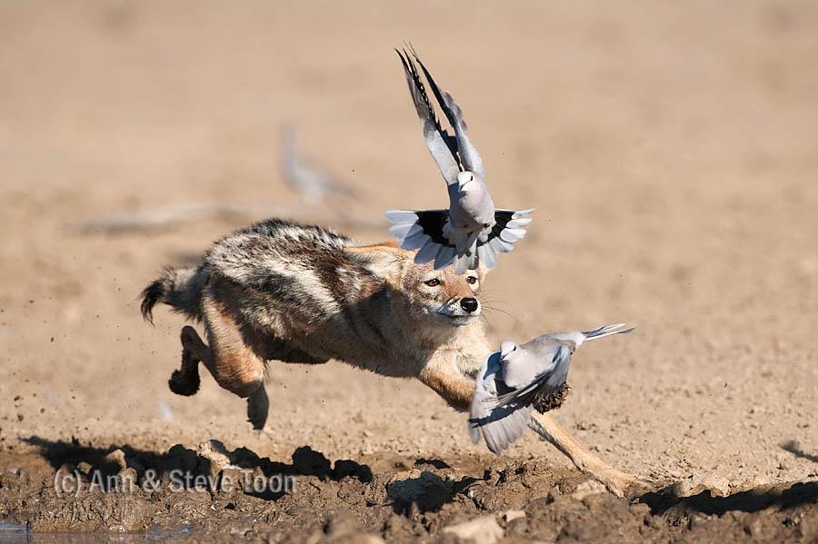 Blackbacked jackal chasing doves,