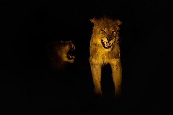 Lions (Panthera leo) at night, Zimanga private game reserve, KwaZulu-Natal, South Africa, May 2017
