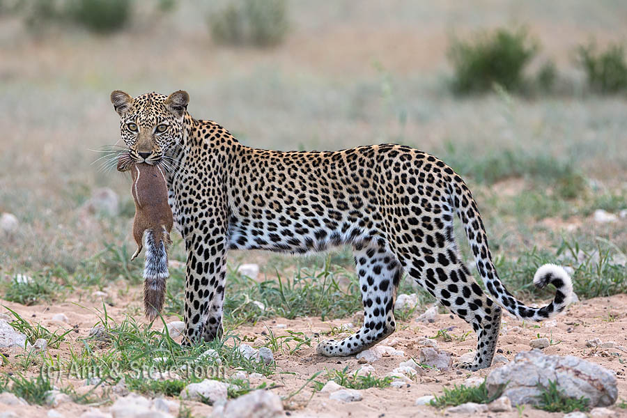 Leopard female with ground squirrel,