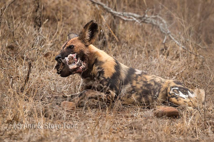 Wild dog feeding, Zimanga