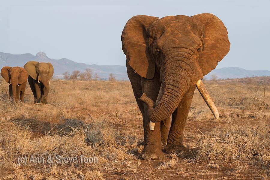 Close encounter again: Zimanga elephants