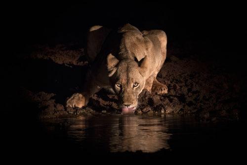 Lioness drinking at night, Zimanga