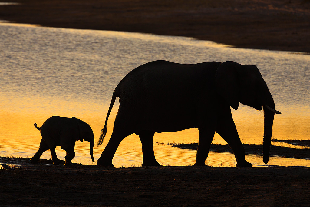 African elephants at sunset, Chobe