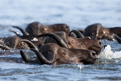 Cape buffalo crossing the Chobe