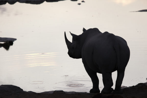 Black rhino silhouetted at water, Etosha