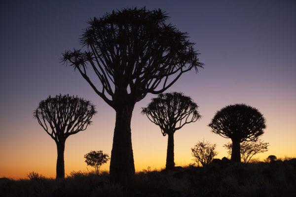 Quiver trees, Keetmanshoop, Namibia