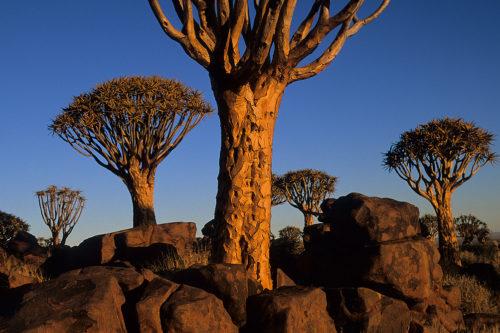 Quiver trees (Kokerboom), Namibia