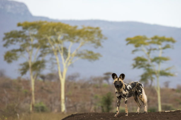 African wild dog (Lycaon pictus) pack member hunting, Zimanga private game reserve, KwaZulu-Natal, South Africa, September 2016