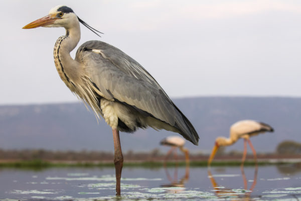 Grey heron (Ardea cinerea), Zimanga private game reserve, KwaZulu-Natal, South Africa, September 2016