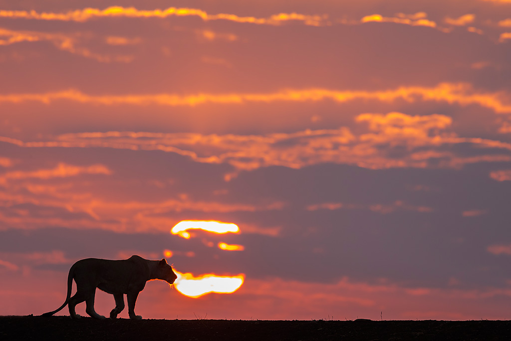 Lioness at dawn, Zimanga