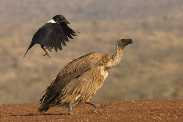 Whitebacked vulture (Gyps africanus) mobbed by pied crow (Corvus albus), Zimanga private game reserve, KwaZulu-Natal, South Africa, June 2017