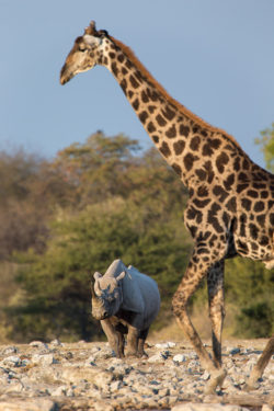 Black rhino (Diceros bicornis) with giraffe, Etosha National Park, Namibia, May 2013