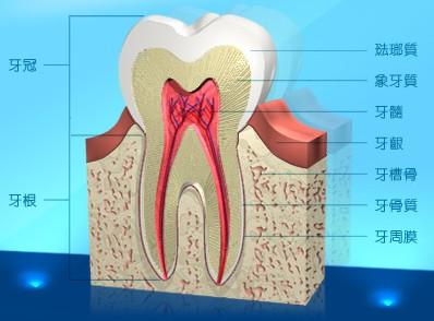 微笑天使: 牙齒介紹--人類的兩組牙齒--乳牙與永久性牙齒