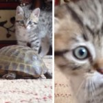 Kitten Meets Turtle