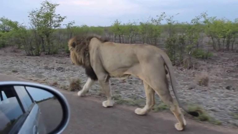 lion taking a stroll