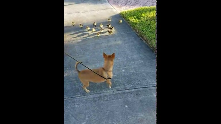 Ducks Follow Chihuahua