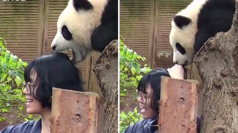 An adorable panda