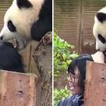 An adorable panda