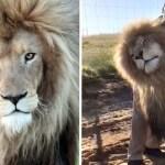 Smokey the lion