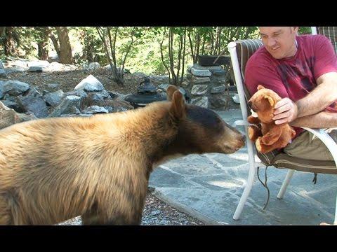 Plush Bear Attacked by Wild Bear