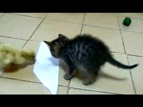 Kitten and Duckling playing with sticky paper