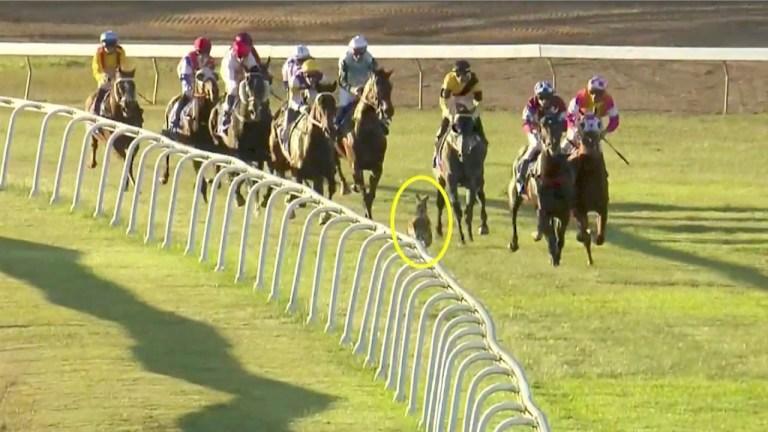 Uninvited kangaroo Joins In Horse Race