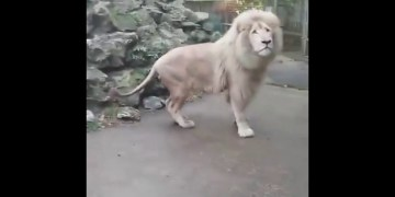 Lion scared of bubble